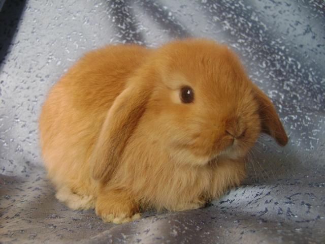 Кролик вислоухий.