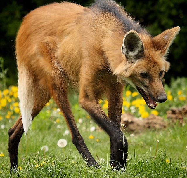 Гривистый волк и кустарниковая собака